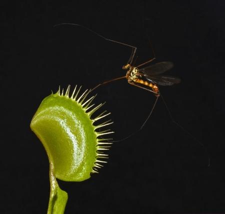 entrap: crane fly entrap in leaf of venus fly trap