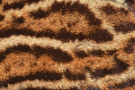 macro animals: clouded leopard fur Stock Photo