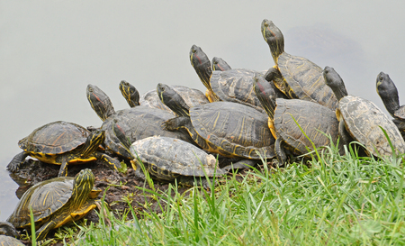 herpetology: family of water turtles