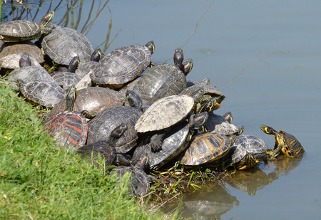 herpetology: water turtles family