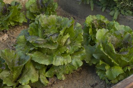 Salad in the vegetable garden 版權商用圖片 - 85936610