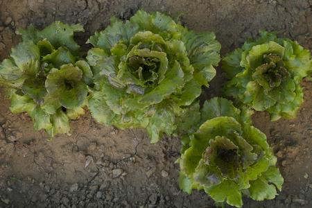 Salad in the vegetable garden 版權商用圖片