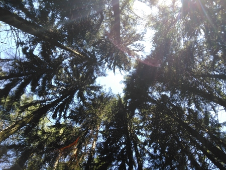Pines on sky