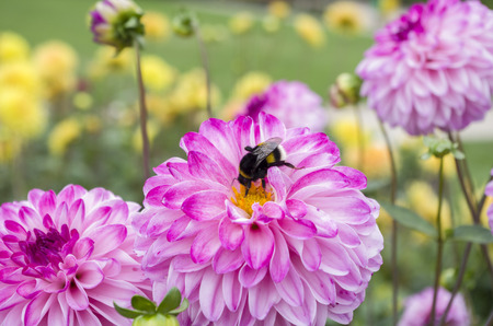 Bee pollinating a flower 版權商用圖片 - 86040703