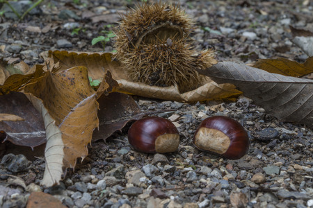 Chestnuts in the forest