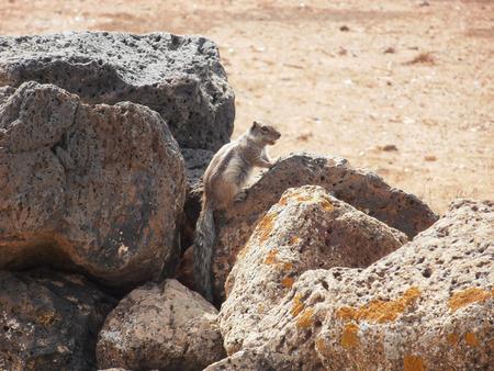 ardilla: ardilla en Fuerteventura Foto de archivo