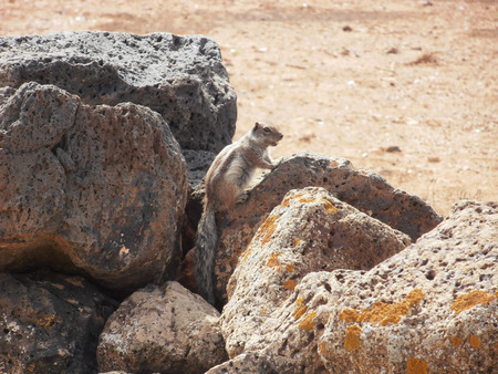 barbery: chipmunk in Fuerteventura
