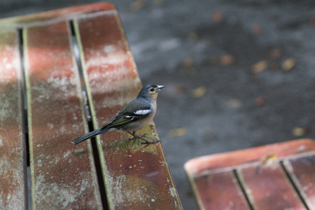 bluey: La Palma chaffinch, fringilla coelebs palmae Stock Photo