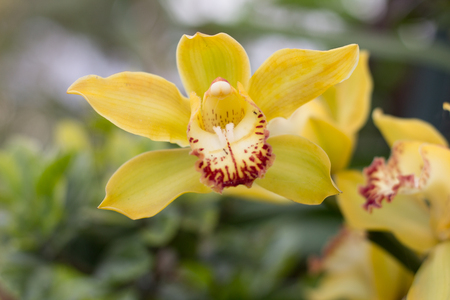 yellow orchid: Yellow Orchid flower