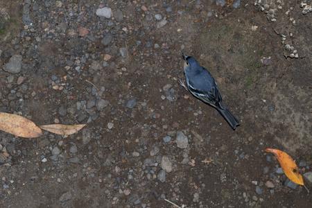 bluey: La Palma chaffinch, fringilla coelebs palmae in Sacuces.