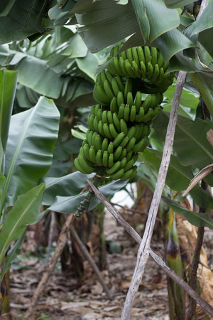 canary: Bunch of canary bananas. Traditional agriculture in Barlovento (Canary Islands)