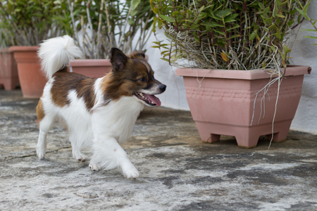 mottled: mottled brown and white dog playing outside