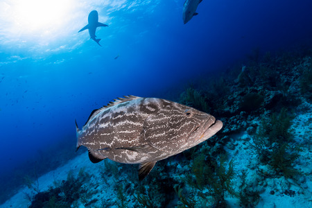 dangerous reef: Big grouper close up and reef shark on background, scuba diving in Nassau, Bahamas
