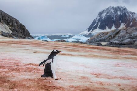 Gentoo penguin walking on ice to the sea in Antarctica, orange stains due to the bird colony feeding on krill, Antarctic Peninsula