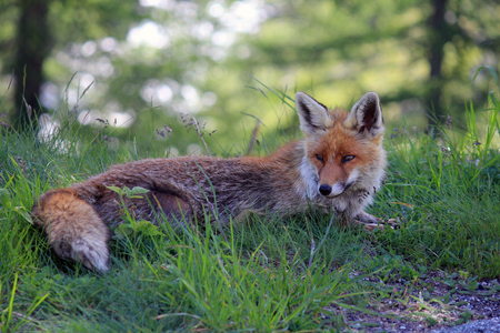 pelage: a lying fox in the forest