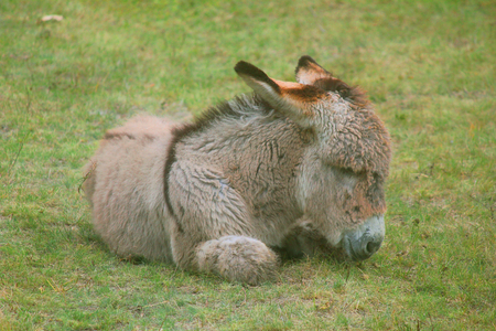 mules: a little donkey is sleeping Stock Photo