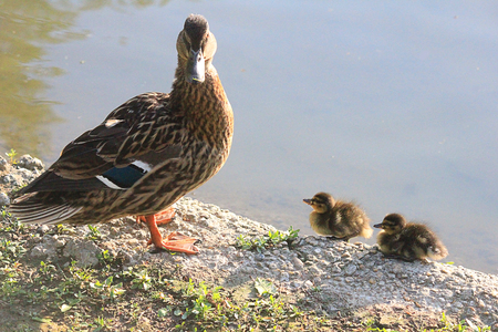 anatidae: a duck with little ducks near the lake