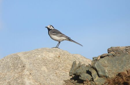 white wagtail: a white wagtail on the rocks in mountain Stock Photo