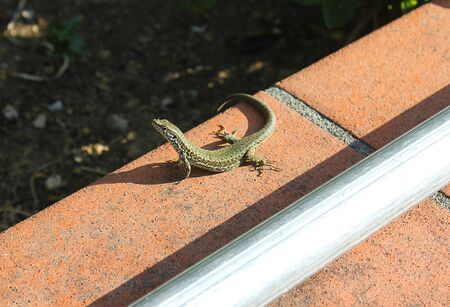insectivorous: a lizard on two legs