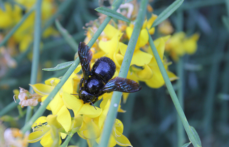 hindwing: a black bumblebee insect