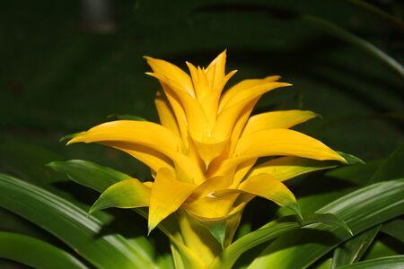 guzmania: a yellow guzmania flower