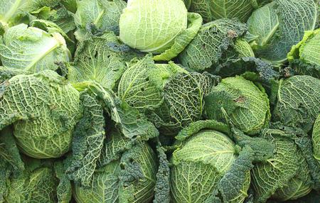 savoy cabbage: a background of savoy cabbage