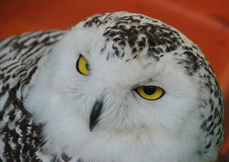 snowy owl: close-up of a snowy owl