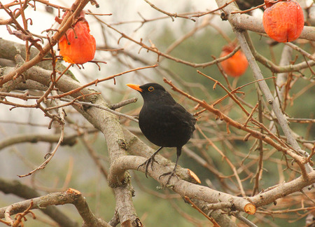 persimmon tree: a blackbird on a persimmon tree Stock Photo