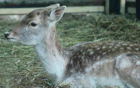 fawn: a fawn in the straw