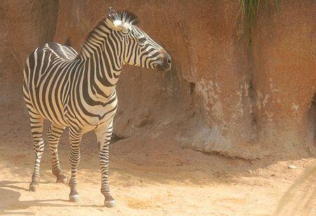 equid: a zebra on rocky background Stock Photo