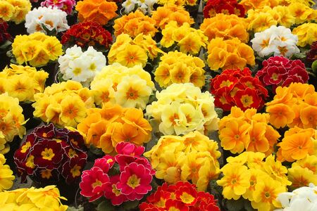 primroses: a garden with primroses of different colors