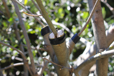 graft: a graft on the olive tree