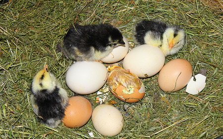 chicks: some chicks and eggs in the nest