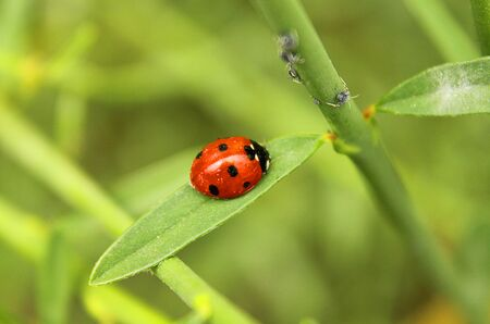 coccinella: a ladybug on the leaf