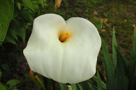 un fiore calle nel giardino