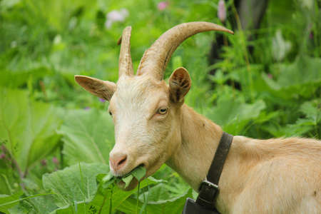 a goat eating grass Stock Photo