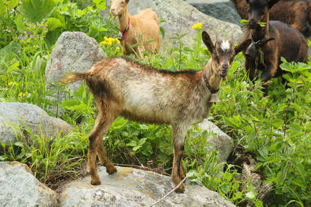 ruminant: a goat on the stone near the river