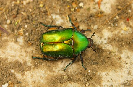 scarab: flower chafer scarab beetle Stock Photo