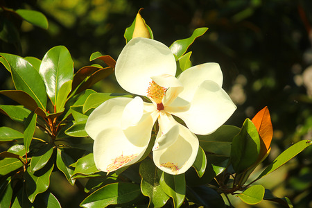 magnolia branch: a magnolia flower on the branch