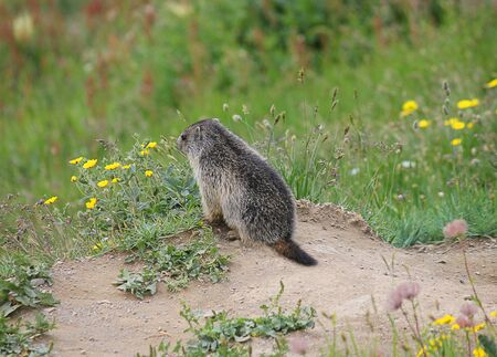 animal den: a small marmot in front of the den