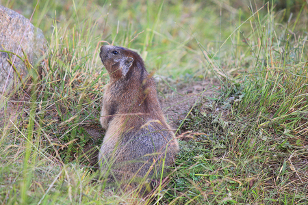 animal den: a marmot standing in the grass Stock Photo