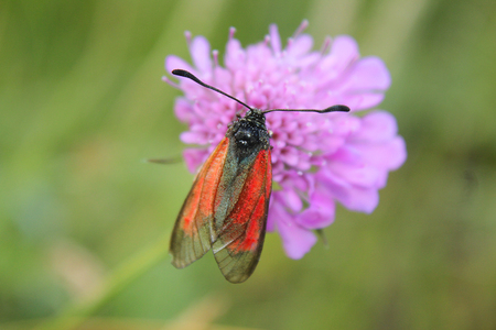 imago: a butterfly on a flower in mountain
