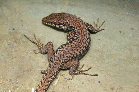 insectivorous: a lizard on gray background