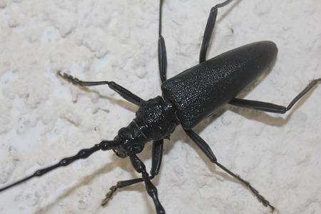 cerambycidae: a cerambycidae close up on the wall