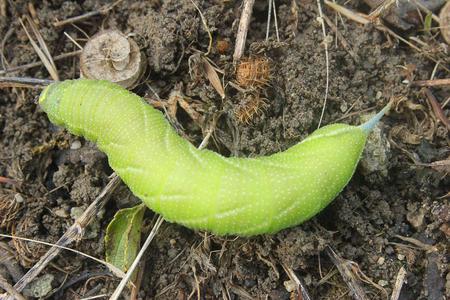 tomato caterpillar: a giant green caterpillar agrius convolvoli on the grass