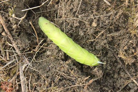 tomato caterpillar: a caterpillar moving in the grass