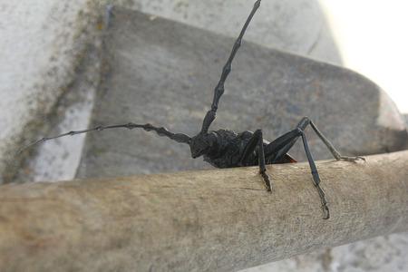 cerambycidae: a cerambycidae on the wood