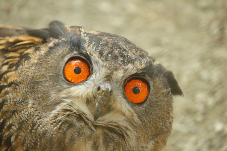 real: a real owl close-up Stock Photo