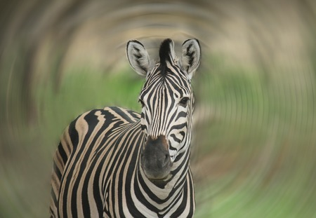 equid: a zebra on a neutral background