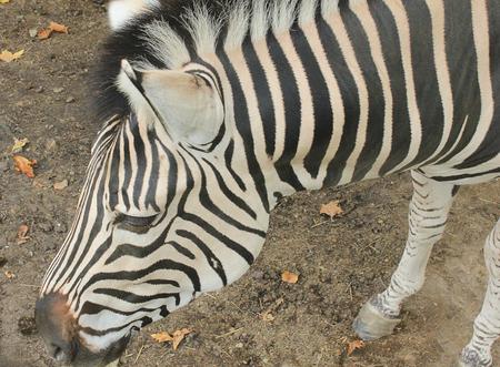 equid: a zebra head close-up Stock Photo